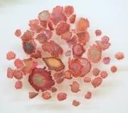 Ruby Lichen